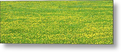 Spring Farm Panorama With Dandelion Bloom In Maine Canvas Poster Print Metal Print by Keith Webber Jr