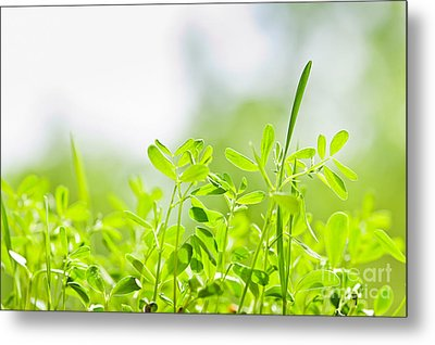 Spring Green Sprouts Metal Print by Elena Elisseeva