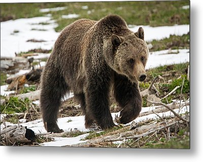 Metal Print featuring the photograph Spring Grizzly Bear by Jack Bell