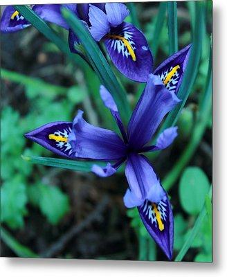 Spring Iris Metal Print by Theresa Selley