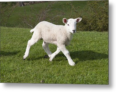 Metal Print featuring the photograph Spring Lamb by David Isaacson