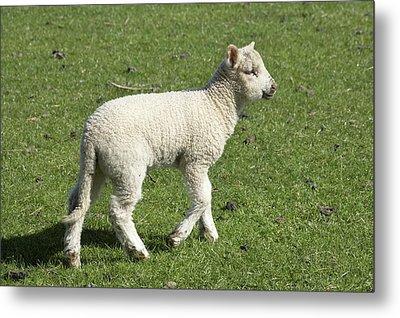 Spring Lamb, Dunedin, Otago, South Metal Print by David Wall
