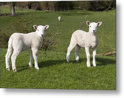 Metal Print featuring the photograph Spring Lambs by David Isaacson