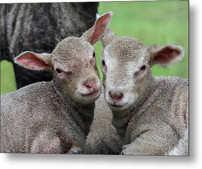 Spring Lambs Metal Print by Pete Hemington