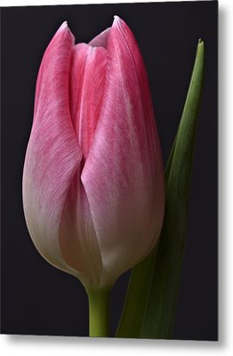 Metal Print featuring the photograph Orange Pink Red White Black Tulip Flower Art Work Photograph by Artecco Fine Art Photography