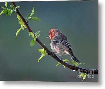Metal Print featuring the photograph Song Bird In Spring by Nava Thompson