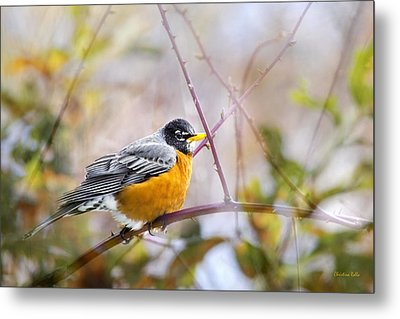 Spring Robin Metal Print by Christina Rollo