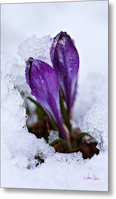 Spring Snow Metal Print