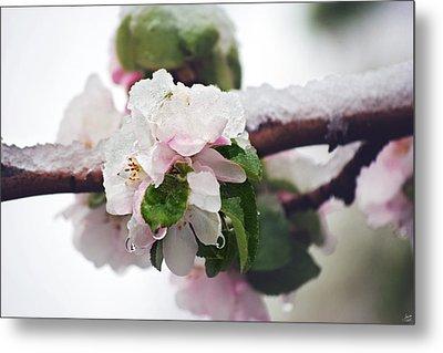 Spring Snow On Apple Blossoms Metal Print by Lisa Knechtel