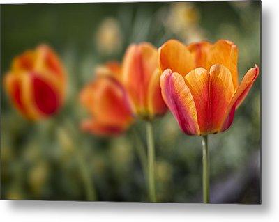 Spring Tulips Metal Print by Adam Romanowicz