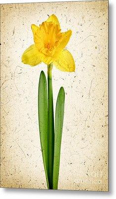 Spring Yellow Daffodil Metal Print by Elena Elisseeva