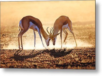 Springbok Dual In Dust Metal Print
