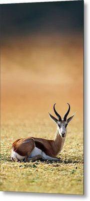 Springbok Resting On Green Desert Grass Metal Print