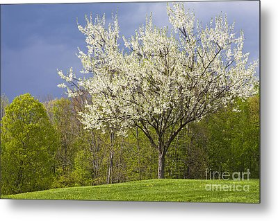 Springtime Blossoms Metal Print by Alan L Graham