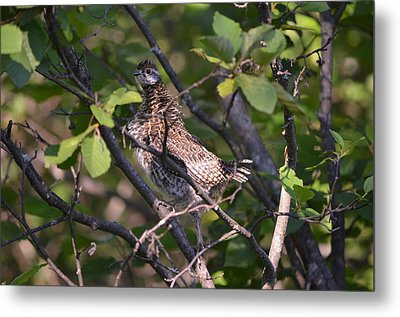 Spruce Grouse2 Metal Print