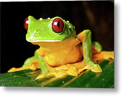 Spurell's Flying Frog (agalychnis Metal Print