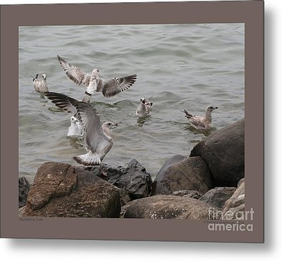 Squabbling Gulls Metal Print by Patricia Overmoyer