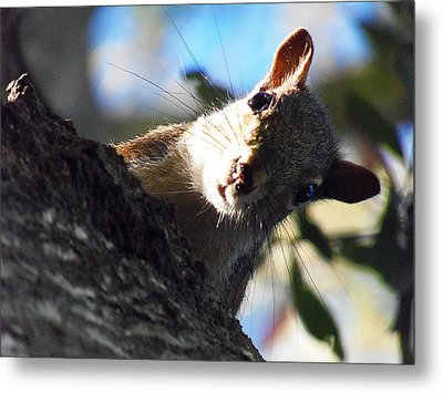 Metal Print featuring the photograph Squirrel 003 by Chris Mercer