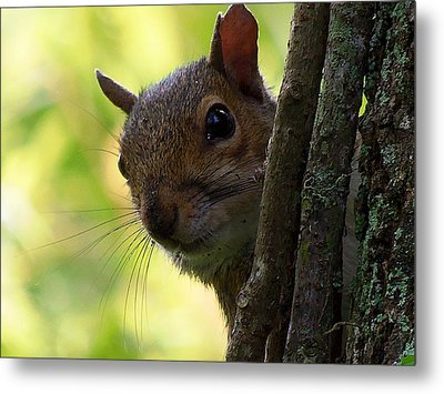 Squirrel 025  Metal Print by Chris Mercer