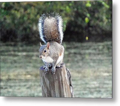 Metal Print featuring the photograph Squirrel 035 by Chris Mercer