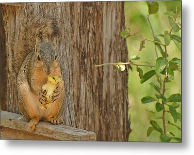 Metal Print featuring the photograph Squirrel And Apple by Susan D Moody
