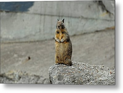 Squirrel At Lover's Point  Metal Print