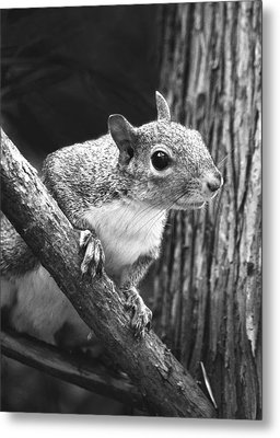 Squirrel Black And White Metal Print by Sandi OReilly