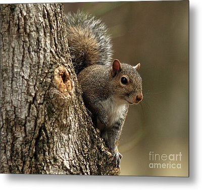 Squirrel Metal Print by Douglas Stucky