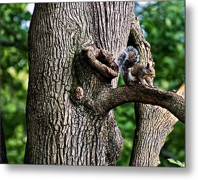 Squirrel Guarding Watering Knot Metal Print by Chris Flees