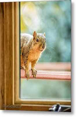 Squirrel In The Window Metal Print by LeeAnn McLaneGoetz McLaneGoetzStudioLLCcom