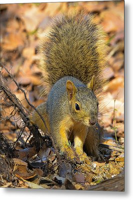 Metal Print featuring the photograph Squirrel by John Johnson