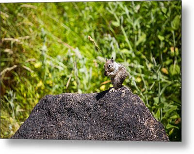 Squirrel Lunch Metal Print