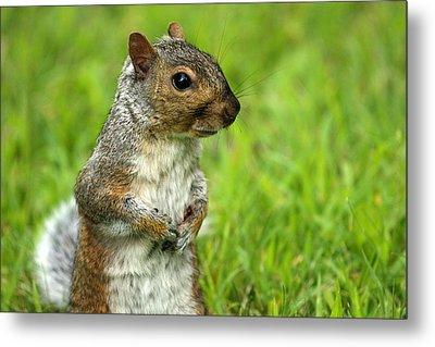Squirrel Pose Metal Print by Karol Livote