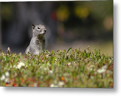 Metal Print featuring the photograph Spy Squirrel  by Richard Stephen