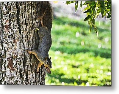 Squirrel With Pecan Metal Print