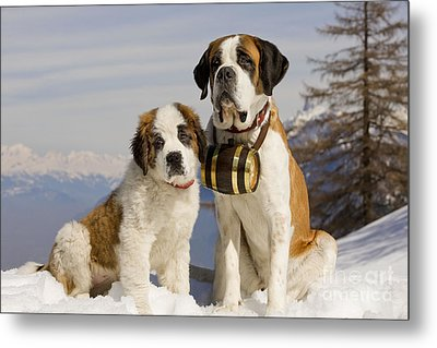 St Bernard And Puppy Metal Print by Jean-Michel Labat