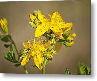 St Johns Wort Metal Print by Betty Depee