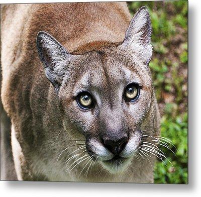 Stalking Cougar Metal Print by Donna Proctor