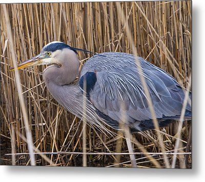 Stalking Fish In The Reeds Metal Print