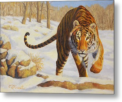 Stalking Siberian Tiger Metal Print by Crista Forest