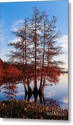 Stand Of Bald Cypress Trees At Ba Steinhagen Lake In Martin Dies Jr State Park - Jasper East Texas Metal Print