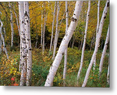 Stand Of White Birch Trees Metal Print by Panoramic Images