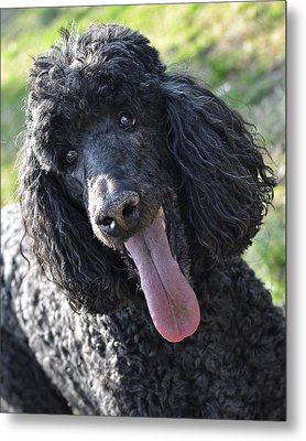 Standard Poodle Metal Print by Lisa Phillips