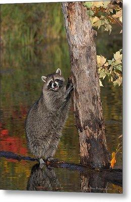 Standing Raccoon Metal Print by Daniel Behm