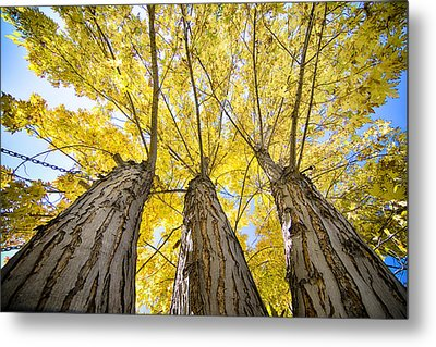 Standing Tall Autumn Maple Metal Print