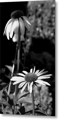 Metal Print featuring the photograph Coneflowers Standing Tall   by James C Thomas