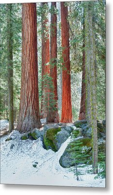 Standing Tall - Sequoia National Park Metal Print by Sandra Bronstein