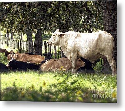 Standing Watch Cattle Photographic Art Print Metal Print by Ella Kaye Dickey