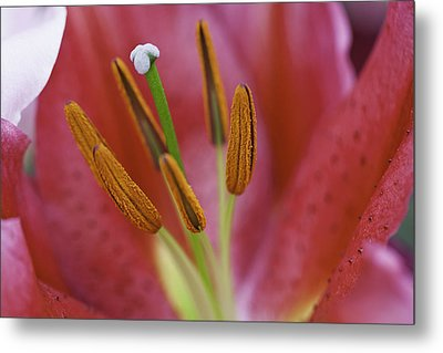 Star Gazer Lilly Macro Metal Print by Lesley Rigg
