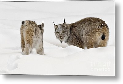 Staredown Metal Print by Dee Cresswell